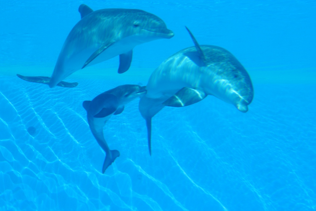 Dolphin Pregnancy And Birth
